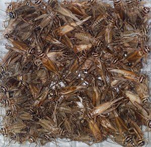 heimchen Boîte alimentaire Doublure insectes Reptile Doublure Doublure Animaux