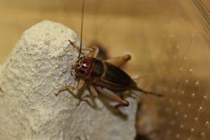 steppe Griller Grande boîte Doublure insectes 20–30Pièces