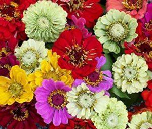 1.250 Seeds – Belle Zinnia Pumila Mix Zinnia Elegans