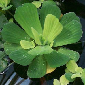 Plantes de laitue–flottant Live et bassin d'eau de plantes d'aquarium Inc