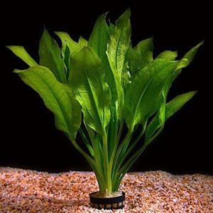Live Aquarium Plantes Echinodorus bleheri «