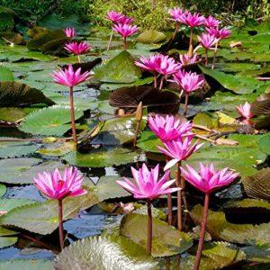100pcs en Direct pour Les Plantes Aquatiques Louisiane Rose Hardy Nénuphar Tuber Bonsai Aquarium d'eau Douce étang à Poissons