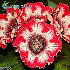Elitely Gloxinia Seeds Lot de 100 graines de fleurs décoratives Blanc