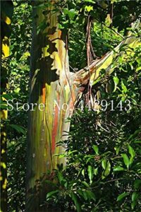 Elitely Hawaii Lot de 30 véritables graines d'eucalyptus arc-en-ciel pour décoration de jardin