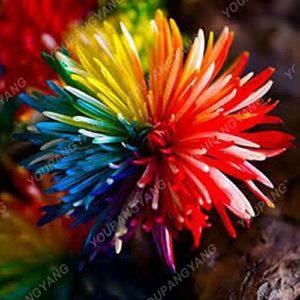 Elitely Lot de 45 graines de chrysanthèmes multicolores dans des fleurs vivaces