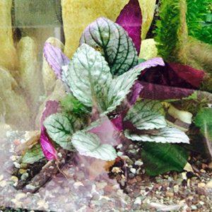 Fish Around Purple Prince Plante d'aquarium vivante avec formule Fish Around pour la croissance des racines