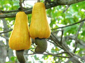 AGROBITS Plantes à Bas Prix 10Pcs Cashew Arbre Plantes Anacardium Occie Tropical