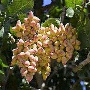 GEOPONICS 10Pistachio Nut Tree (Pistacia Vera) New