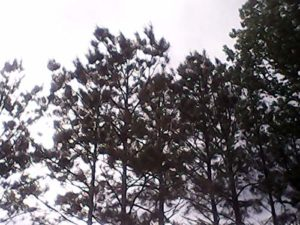 GEOPONICS Long Leaf Pine Tree seedli