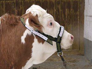 pour bovins et taurillons – A01275